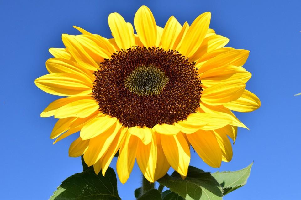 sunflower-1627179_1920.jpg